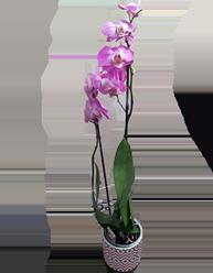 ORCHIDEE / PHALAENOPSIS Haut 50 cm Pot 12