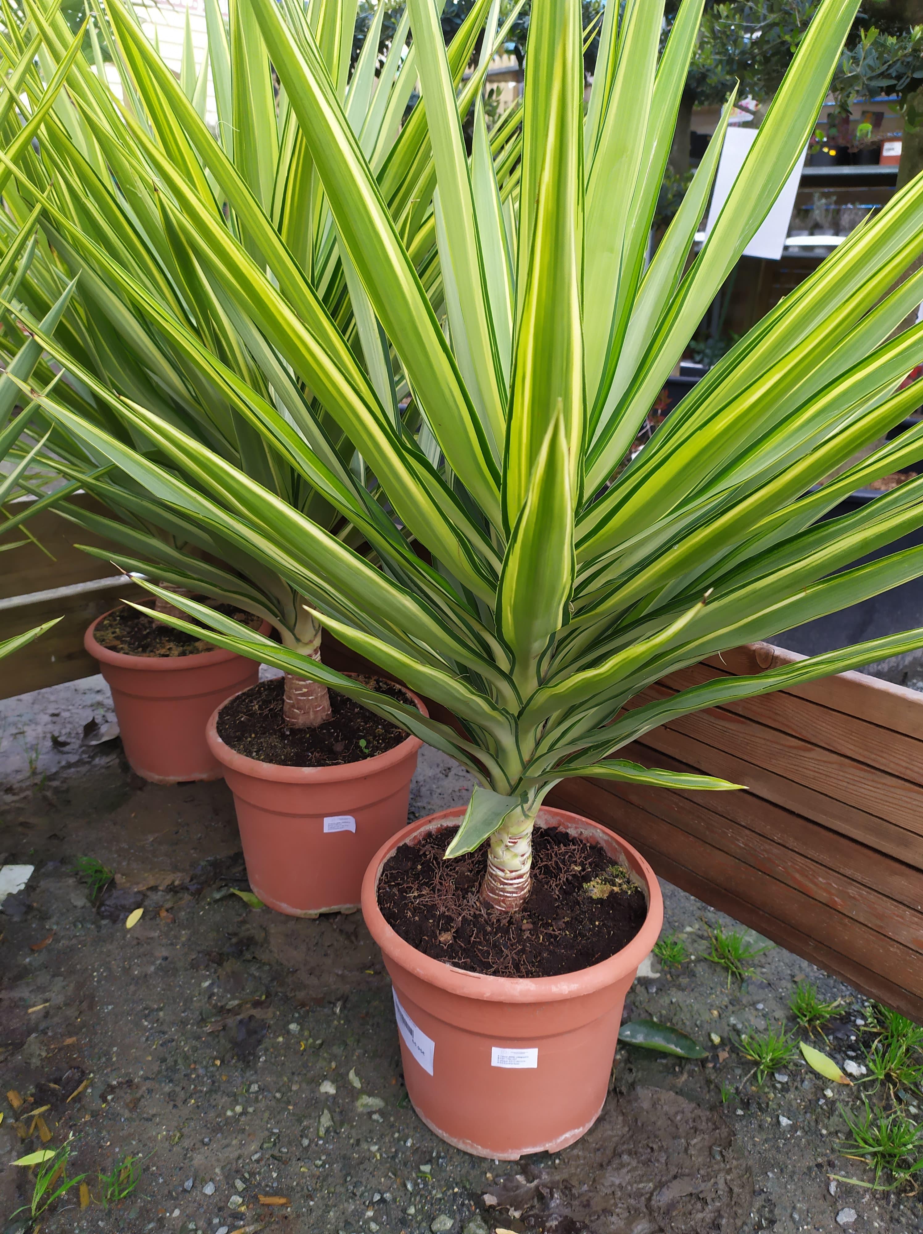 Arbuste Persistant En Pot Plein Soleil yucca jewel variegata pot 25 l